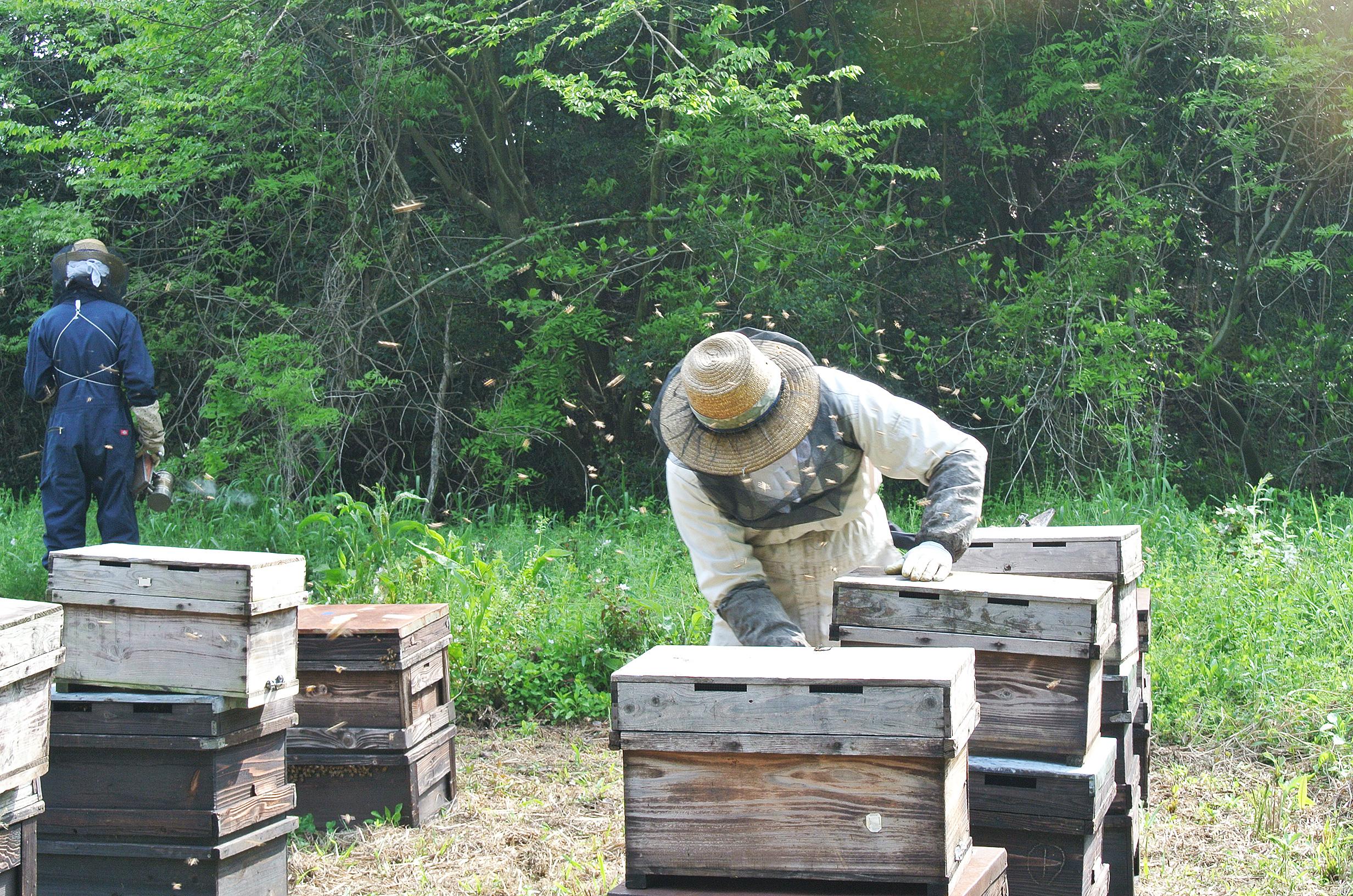 養蜂の様子